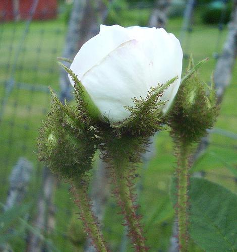 blanche moreau