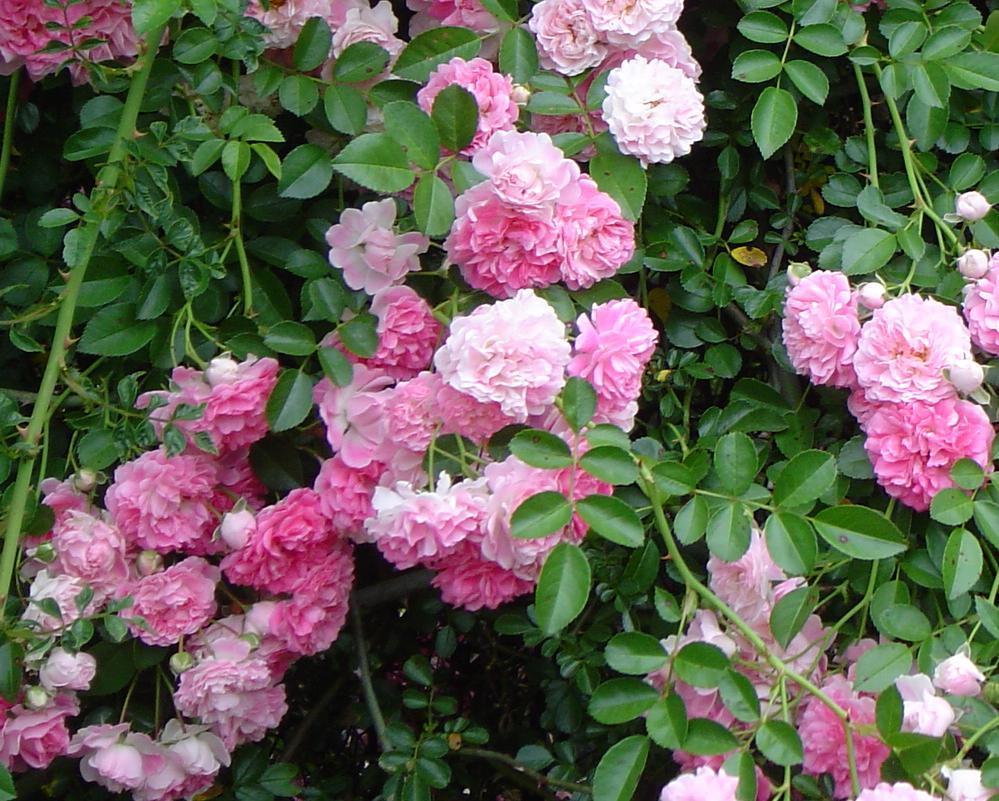 rosa wichuriana