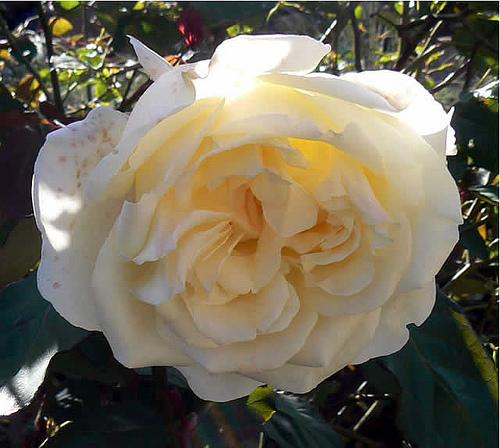 trandafir thea