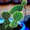 Despre cactusi - partea II
