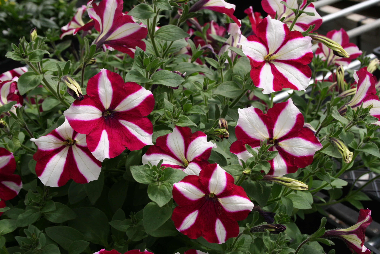 Soiuri noi pentru 2010 plante decorative prin flori Plante decorative