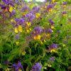 Flori salbatice pentru locuri umbroase