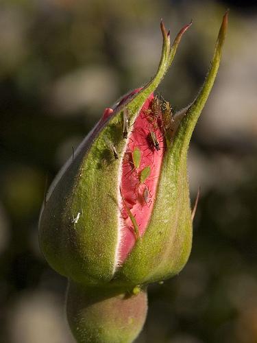 trandafir atacat