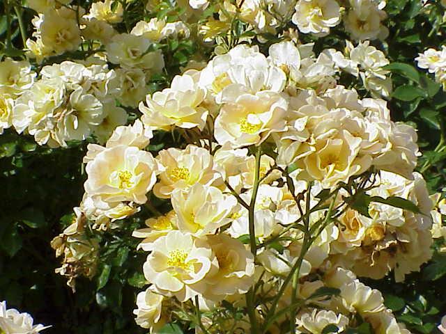 Trandafir Floribundas
