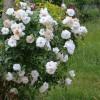 Tunderea trandafirilor primavara