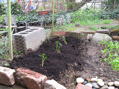 plantare cartofo