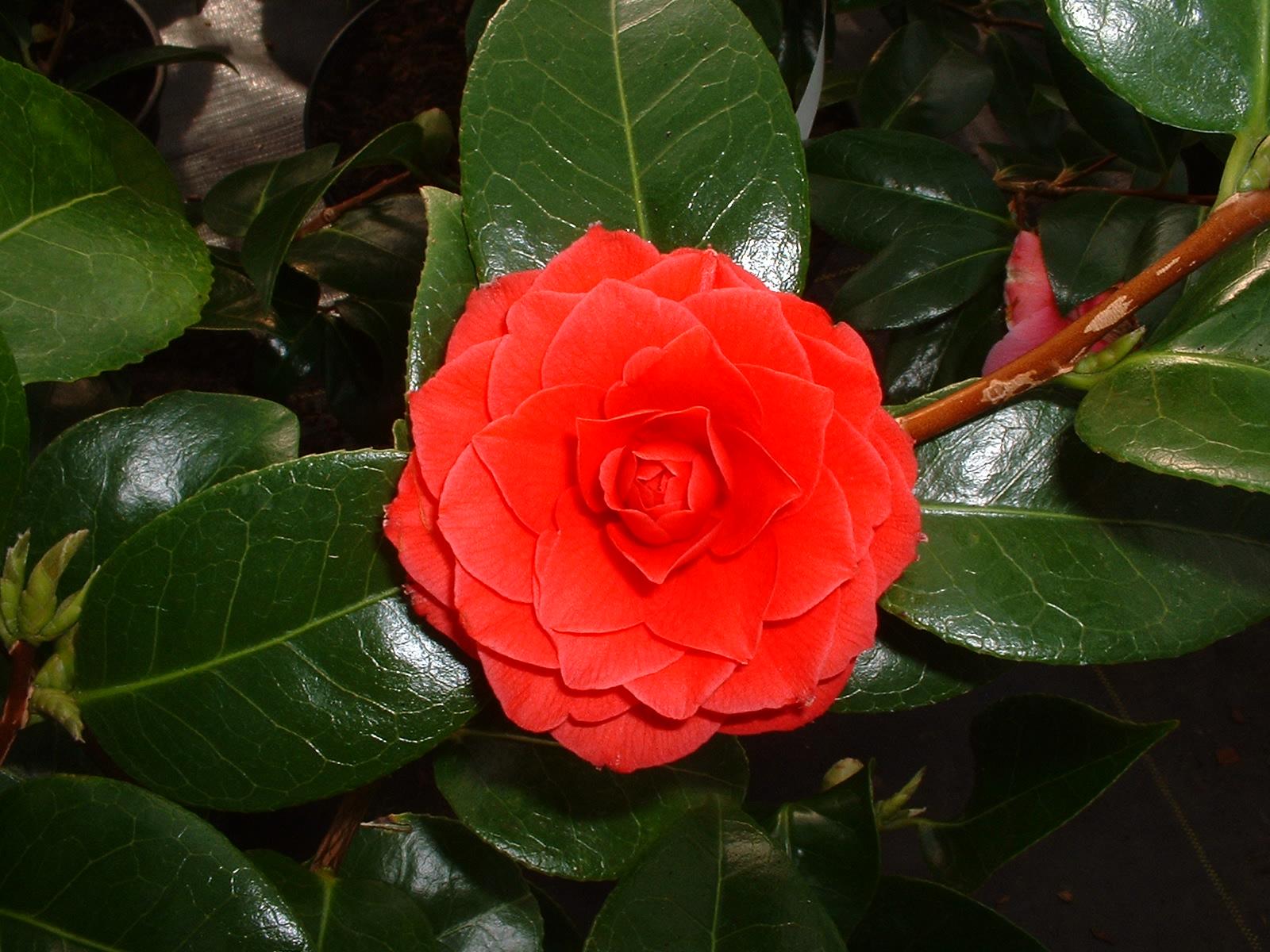 camellia dantela neagra