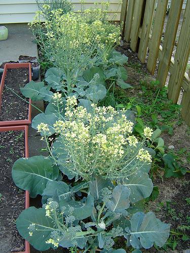 flori de broccoli