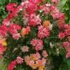 Trandafirii: crestere si ingrijire