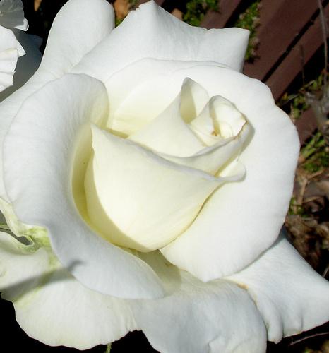 tradafir alb