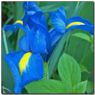 iris olandez