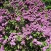 Florile de liliac