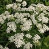 Coada soricelului - planta decorativa?