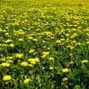 Papadia - planta medicinala
