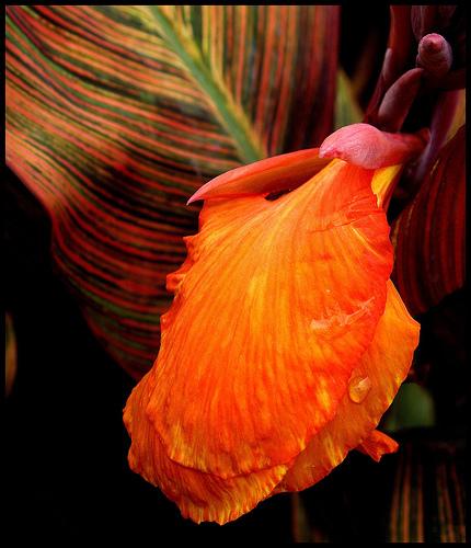 Floare de Canna