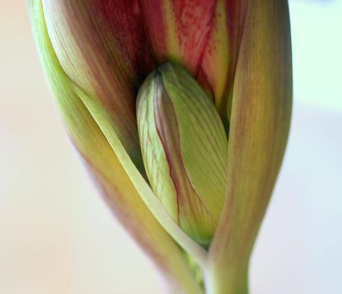 Mugur de Amaryllis