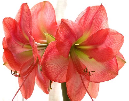 Floare de Amaryllis