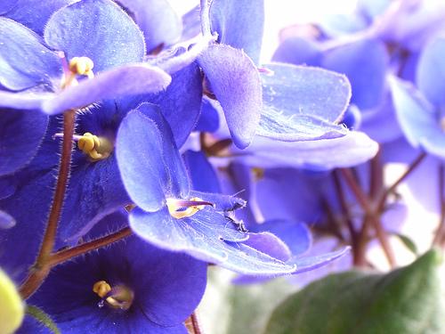 Floare de SaintPaulia (violeta africana)