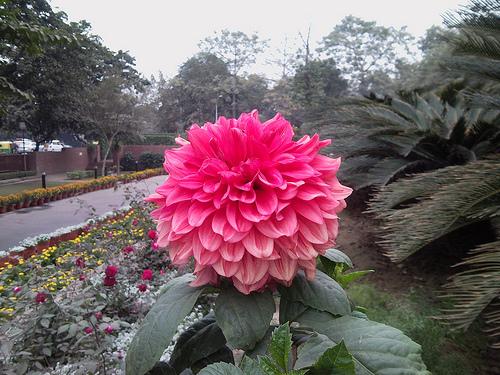 Floare de dalie