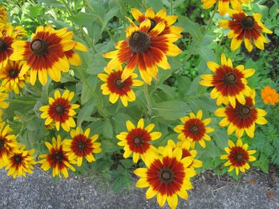 Flori de Rudbeckia