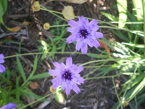Flori de Catananche caerulea