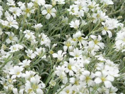 Flori de Cerastium tomentosum