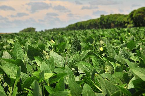 Plantatie de soia in Bolivia