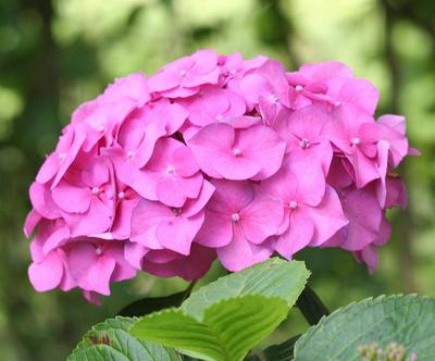 hortensie roz