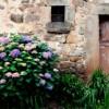 Hortensia - crestere si cultivare