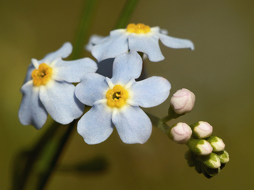 Flori de nu-ma-uita