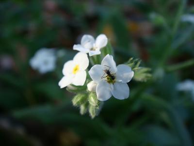 flori de nu-ma-uita albe