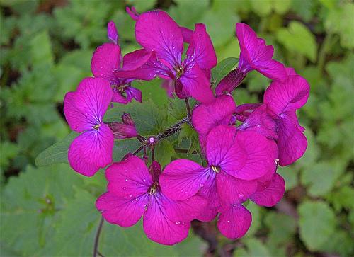 Flori de Lunaria