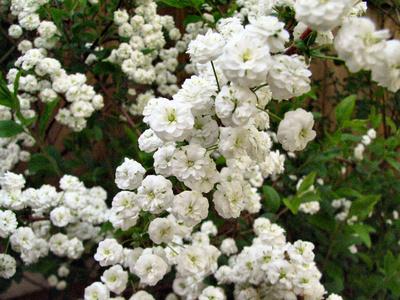flori de gypsophilia