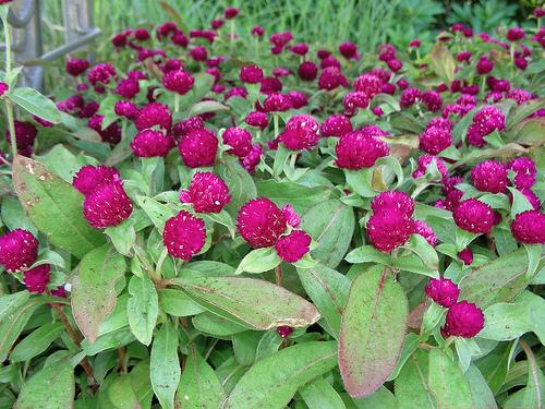 Flori de Amaranth