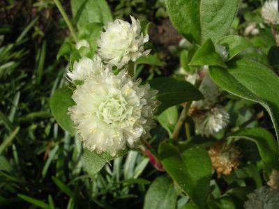 amaranth alb