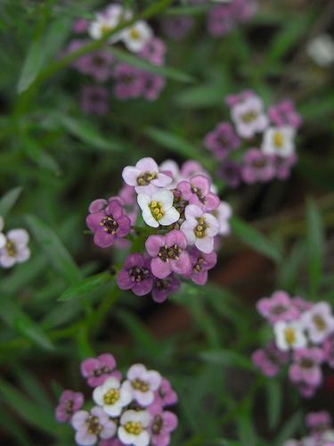 Flori de Alyssum