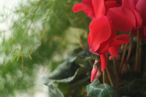 Floare de Cyclamen