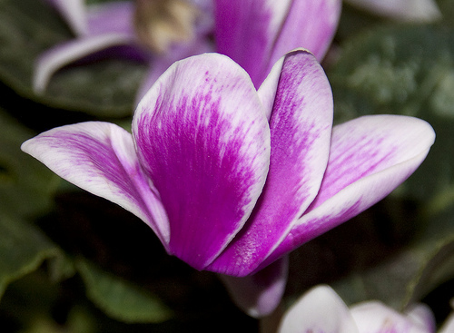 Floare cyclamen