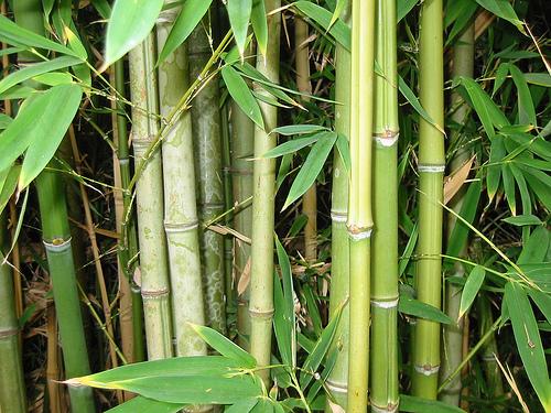 Tulpini si frunze de bambus