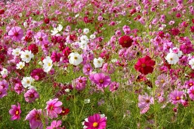 gradina cu flori de cosmos