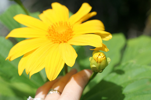 Floarea soarelui mexicana