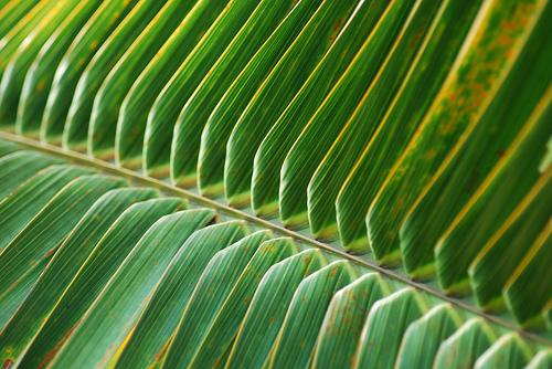 Frunza de palmier