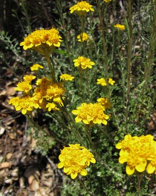 flori galbene de coada soricelului