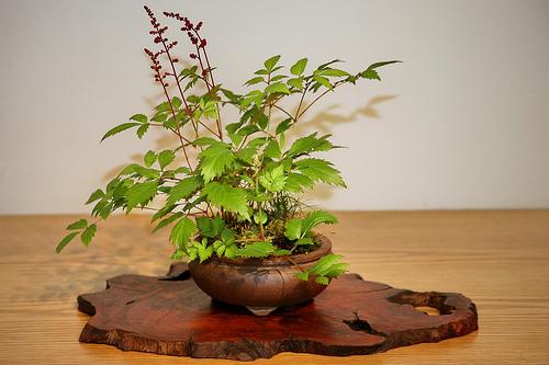 Planta Astilbe