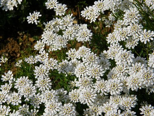 Flori de Iberis