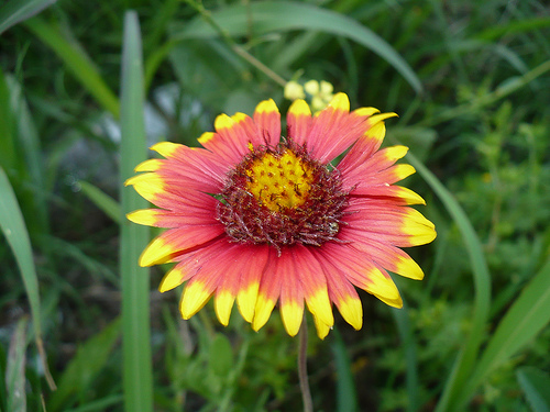 floare patura