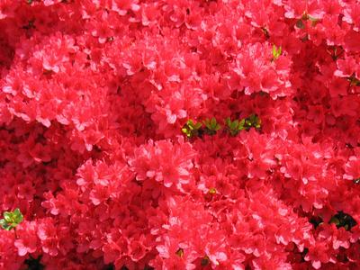 azalea stewartsonian