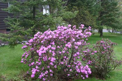 rododendron pjm