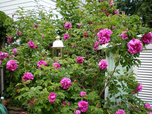 Tufis de trandafiri