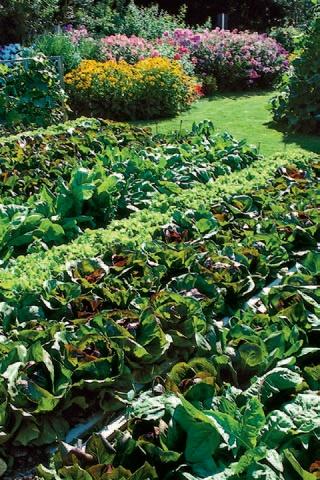 recoltare legume august